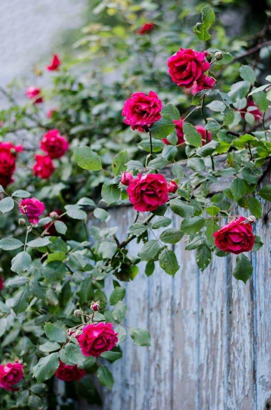 розы для сиропа